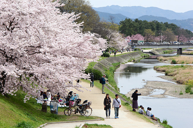 Japan Package: Cherry Blossom in Japan