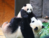 1 Day Panda Visit & Leshan Giant Buddha Group Tour