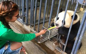 1 Day Dujiangyan Panda Keeper Volunteer Work Program